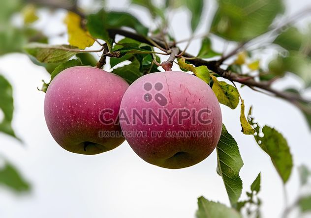 Apples on a branch - Free image #303323