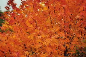 Orange leaves on a maple - Free image #304453