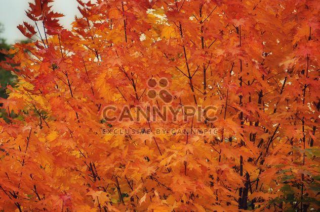 Orange leaves on a maple - Free image #304453
