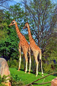 giraffes in park - image #304523 gratis