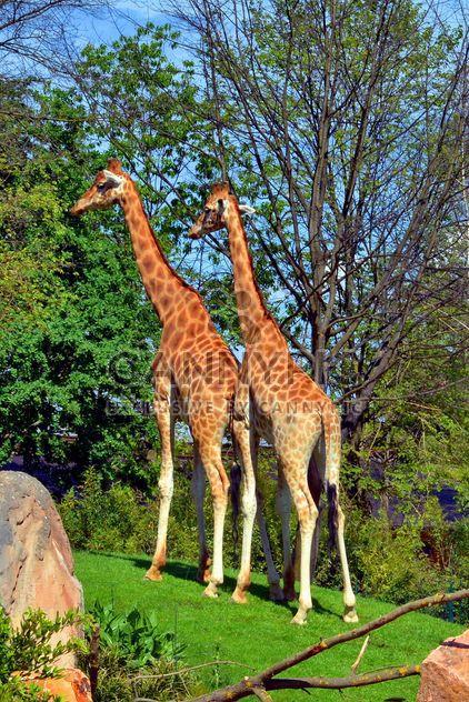 girafas no parque - Free image #304523