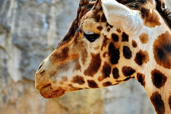 Giraffe Portrait - image gratuit #304533