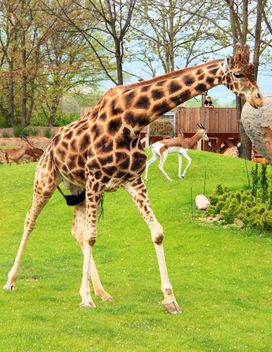 Giraffe in park - image #304543 gratis