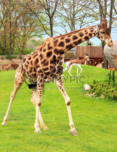 girafe dans le parc - image gratuit #304543