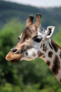 Giraffe portrait - Free image #304553
