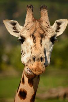 Giraffe portrait - Free image #304563