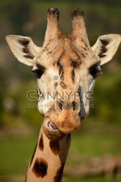 Giraffe-Portrait - Free image #304563
