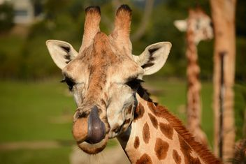 Giraffe in park - image #304573 gratis