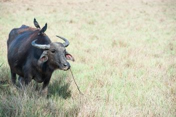 Black buffalo - Free image #304743
