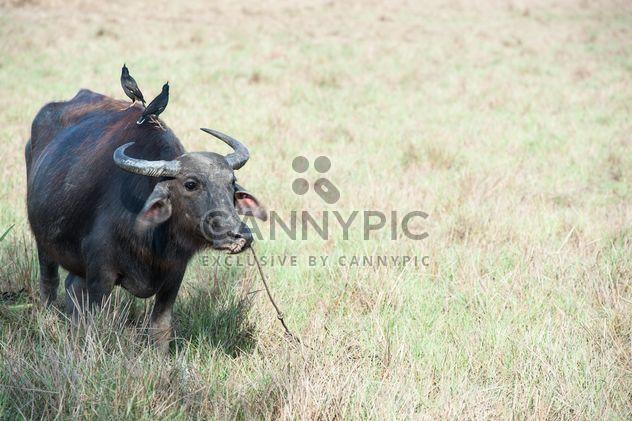 Búfalo negro - image #304743 gratis