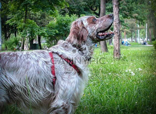 Setter dog in park - Free image #304753
