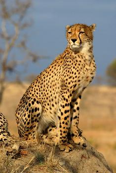 Cheetah - Kostenloses image #305973