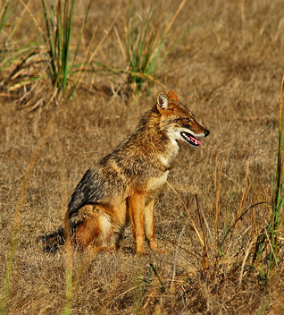 Jackal Canis aureus - Free image #306053