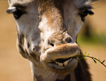 Giraffe - image #306103 gratis