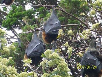 Bats in Sydney Botanical Gardens - Free image #306163