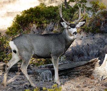 Mule Deer - Free image #306233