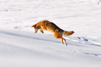 Coyote Pounce - Free image #306253