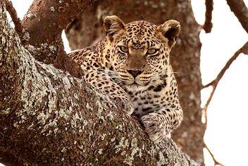 Leopard (Panthera pardus) - image gratuit #306353