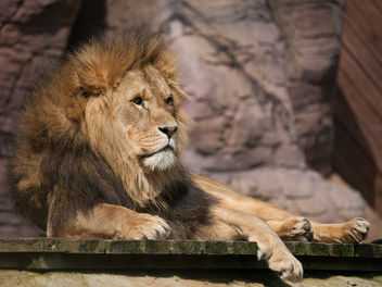 Lion - Free image #306463