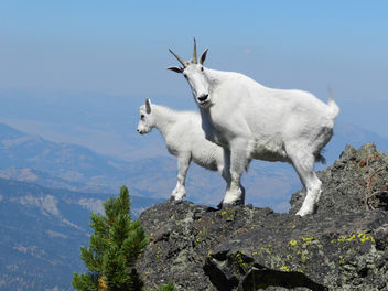 Mountain goats on Sepulcher Mountain - Free image #306553