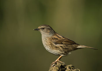 Dunnock on Log - Free image #306733