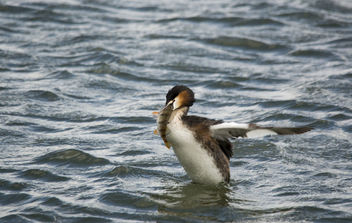 Great Crested Grebe and Perch! - image gratuit #306773