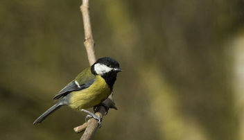 Great Tit - Kostenloses image #306793
