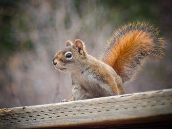 Fire-tail Squirrel - image #306803 gratis