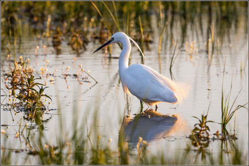 Little Egret fishing in the evening light (Explored) - Free image #306813