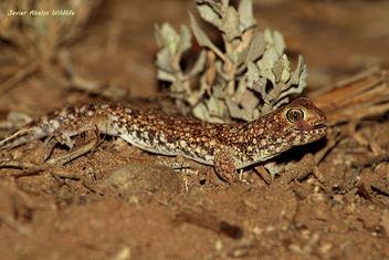 Barking gecko (Ptenopus garrulus) in Goegap Nature Reserve (Namakwaland, South Africa) - бесплатный image #306903