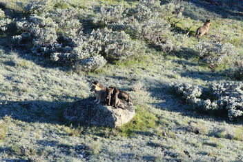 8-Mile Pack wolf pups - Free image #307003
