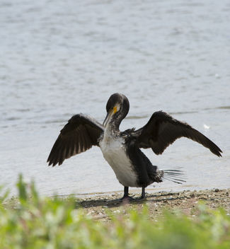 Cormorant Drying off - image #307073 gratis