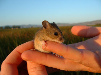 Salt Marsh Harvest Mouse - бесплатный image #307123
