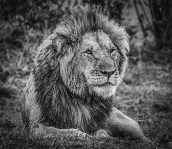 King! Maasai Mara Kenya - Kostenloses image #307163