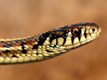 Garter Snake - Kostenloses image #307173