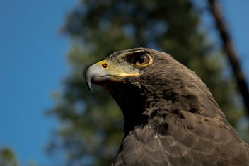 Harris's Hawk - Free image #307393
