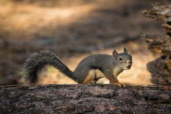 Douglas squirrel - бесплатный image #307403