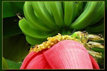 Banana flower - бесплатный image #309223