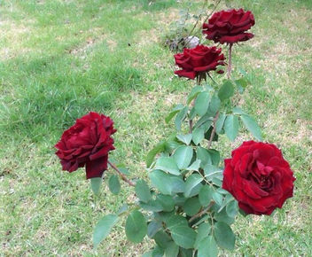 Blood Red Roses - Free image #318753