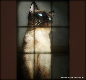 I am siamese , if you please :) - image gratuit #323073