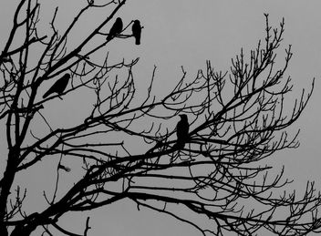 A Murder of Crows # Wales #dailyshoot - Free image #324083