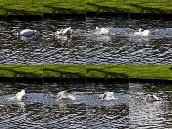 Tumbling swan - image #324663 gratis