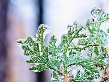 Frozen cypress branch - бесплатный image #326543