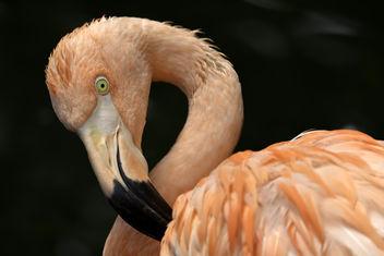 Flamingo Portrait - бесплатный image #327733