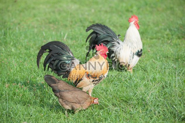 Roosters on grass - Free image #328073