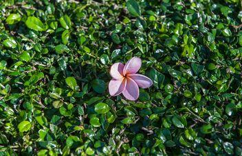 Pink plumeria - Free image #328083
