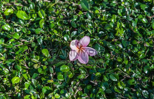 Plumeria rosa - Free image #328083