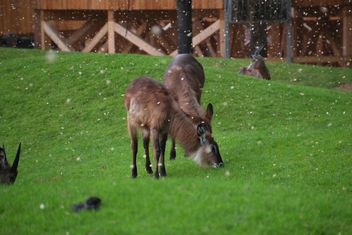 deer grazing on the grass - image #328093 gratis