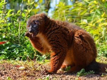 Lemur close up - image #328463 gratis
