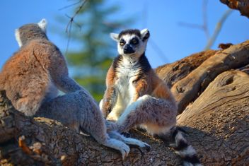 Lemur close up - image gratuit #328483
